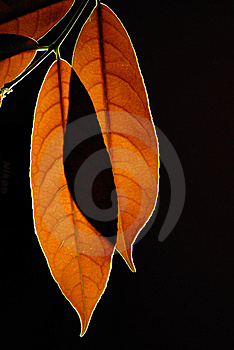 Leaves Royalty Free Stock Photos - Image: 15315548