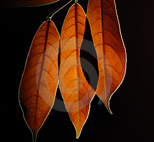 Leaves Stock Photography - Image: 15315552