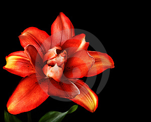 Red Lily Flower, Lilium Royalty Free Stock Photo - Image: 15318535
