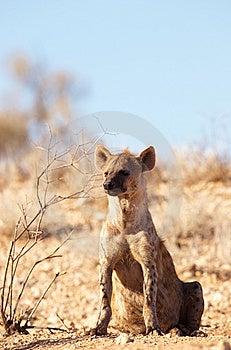 Spotted Hyaena (Crocuta Crocuta) Stock Photo - Image: 15320180