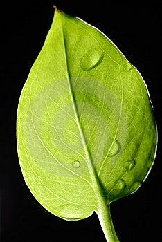 Leaf Royalty Free Stock Photos - Image: 15320288