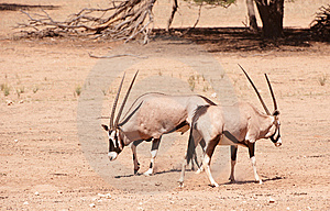 Group Of Gemsbok Royalty Free Stock Photos - Image: 15320348