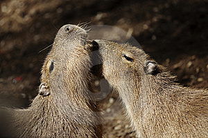 Capybaras Courting Royalty Free Stock Photography - Image: 15324797