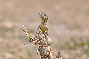 Varadero Lizard Stock Photo - Image: 15325120