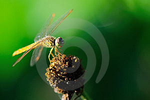 Dragonfly Stock Photo - Image: 15340770