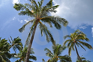 Coconut Palms Royalty Free Stock Image - Image: 15343346