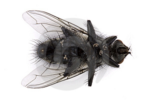 Dead Fly Over White Royalty Free Stock Photography - Image: 15343417
