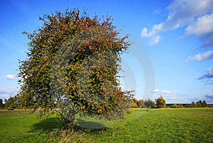 Pear Tree On Field Royalty Free Stock Images - Image: 15344419