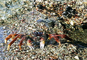 A Red Crab On The Eilat's Coral Reef Stock Photography - Image: 15344872
