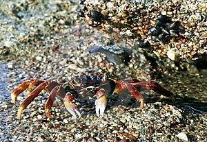 Een Rode Krab Op Het Koraalrif Van Eilat Stock Fotografie - Beeld: 15344872