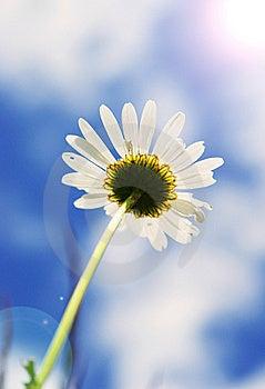 Beautiful Daisy Royalty Free Stock Image - Image: 15352216