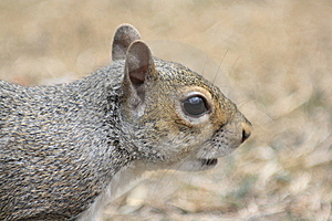 Searching Squirrel's Head Royalty Free Stock Photography - Image: 15352927