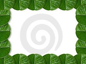 Plumeria Leaf Royalty Free Stock Photography - Image: 15358487