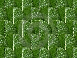 Plumeria Leaf Royalty Free Stock Images - Image: 15358509
