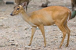 Barking Deer Royalty Free Stock Photo - Image: 15359055