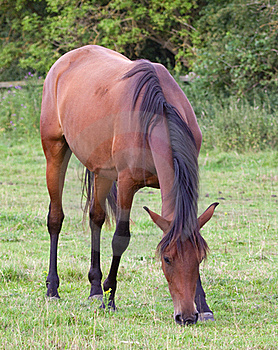 Brown Horse Grazing In Field Royalty Free Stock Image - Image: 15362306