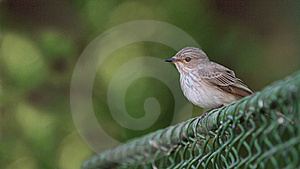 Spotted Flycatcher Royalty Free Stock Image - Image: 15362386
