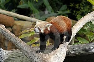 Red Panda Royalty Free Stock Photography - Image: 15366537