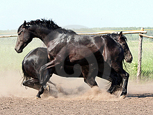 Cricket Two Stallions Stock Photography - Image: 15373592