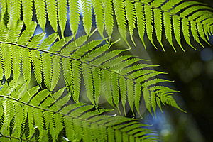 Fern Leaves Royalty Free Stock Photo - Image: 15378895