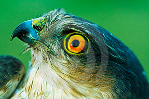 Birds Of Europe And World - Sparrow-hawk Royalty Free Stock Photography - Image: 15381137