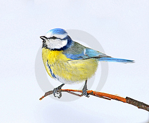 Small Bright Birdie Royalty Free Stock Photography - Image: 15383697