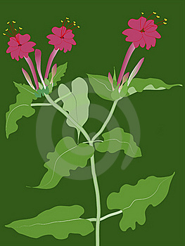 Four Oclock Plant (mirabilis) Stock Photos - Image: 15384123