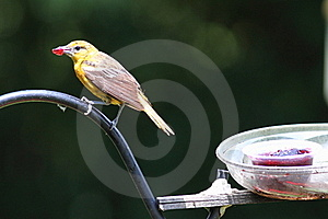 Baltimore Oriole Royalty Free Stock Photography - Image: 15384417