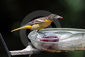 Baltimore Oriole Stock Photography - Image: 15384422