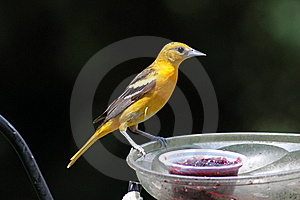 Baltimore Oriole Female Stock Images - Image: 15384424