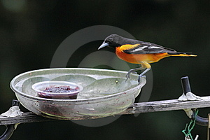 Baltimore Oriole Royalty Free Stock Images - Image: 15384449