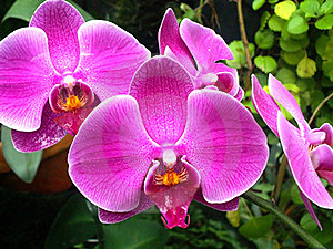 Violet Orchids Royalty Free Stock Image - Image: 15386456