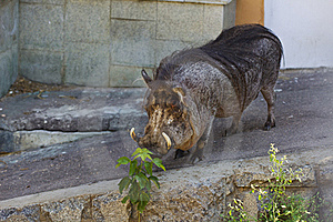 Wart Hog In Zoo Royalty Free Stock Photo - Image: 15389025