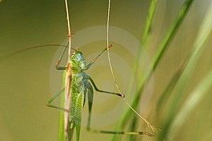 Grasshopper Royalty Free Stock Images - Image: 15390619
