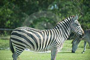 Zebras Royalty Free Stock Images - Image: 15399949