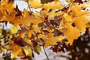 Autumn Golden Oak Leaves Royalty Free Stock Photo - Image: 1546245