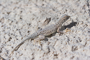 Side-blotched Lizard, Female Stock Images - Image: 1549334