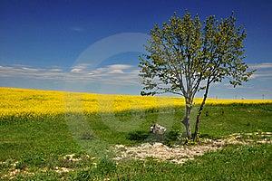 Canola Field Stock Image - Image: 15402881