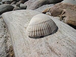 Seashell Royalty Free Stock Photos - Image: 15404108