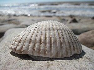 Seashell Royalty Free Stock Photos - Image: 15404118