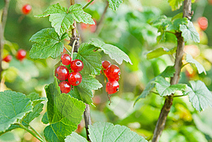 Red Currants Royalty Free Stock Photos - Image: 15404738