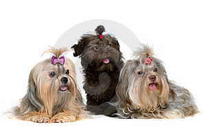 Three Lap-dog In Studio Royalty Free Stock Image - Image: 15405826