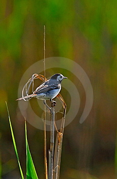 White Wagtail  In Backlight Royalty Free Stock Image - Image: 15406986