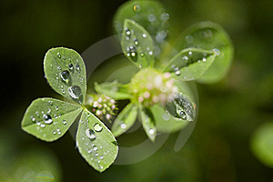Clover With Dew Drops Stock Photo - Image: 15408230