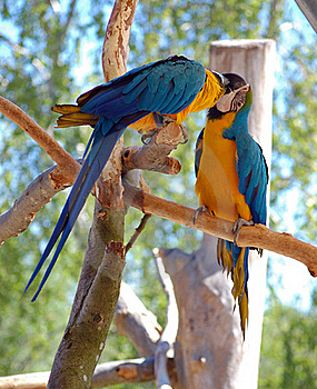 Two Blue-and-Yellow Macaw (parrots) Royalty Free Stock Photography - Image: 15410147