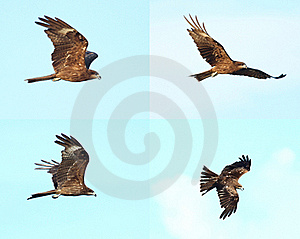 Black Kite_01 Royalty Free Stock Photo - Image: 15410465