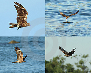 Black Kite_02 Royalty Free Stock Photography - Image: 15410497