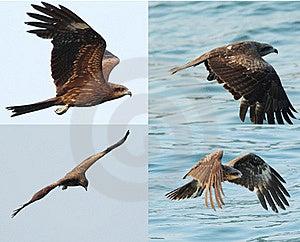 Black Kite_03 Stock Photo - Image: 15410530
