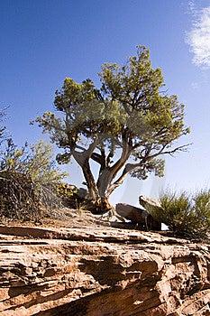 Juniper Tree Royalty Free Stock Photos - Image: 15411168