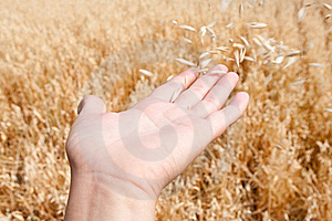 The Oats Flies Royalty Free Stock Images - Image: 15414649